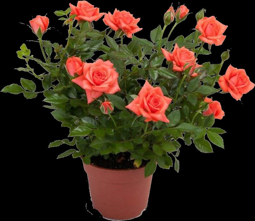 уход за комнатными розами в картинках отличие зелёного лука