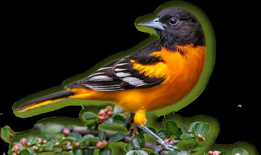 Baltimore Orioles - Baltimore Oriole Bird Png (596x319)