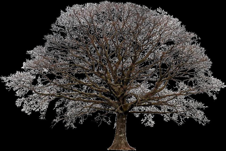 раскидистое дерево картинки без фона хорошо