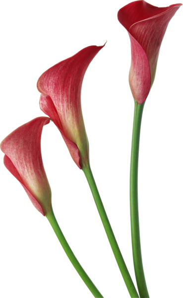 Red Transparent Calla Lilies Flowers Clipart - Calla Lily Flower Png (369x600)