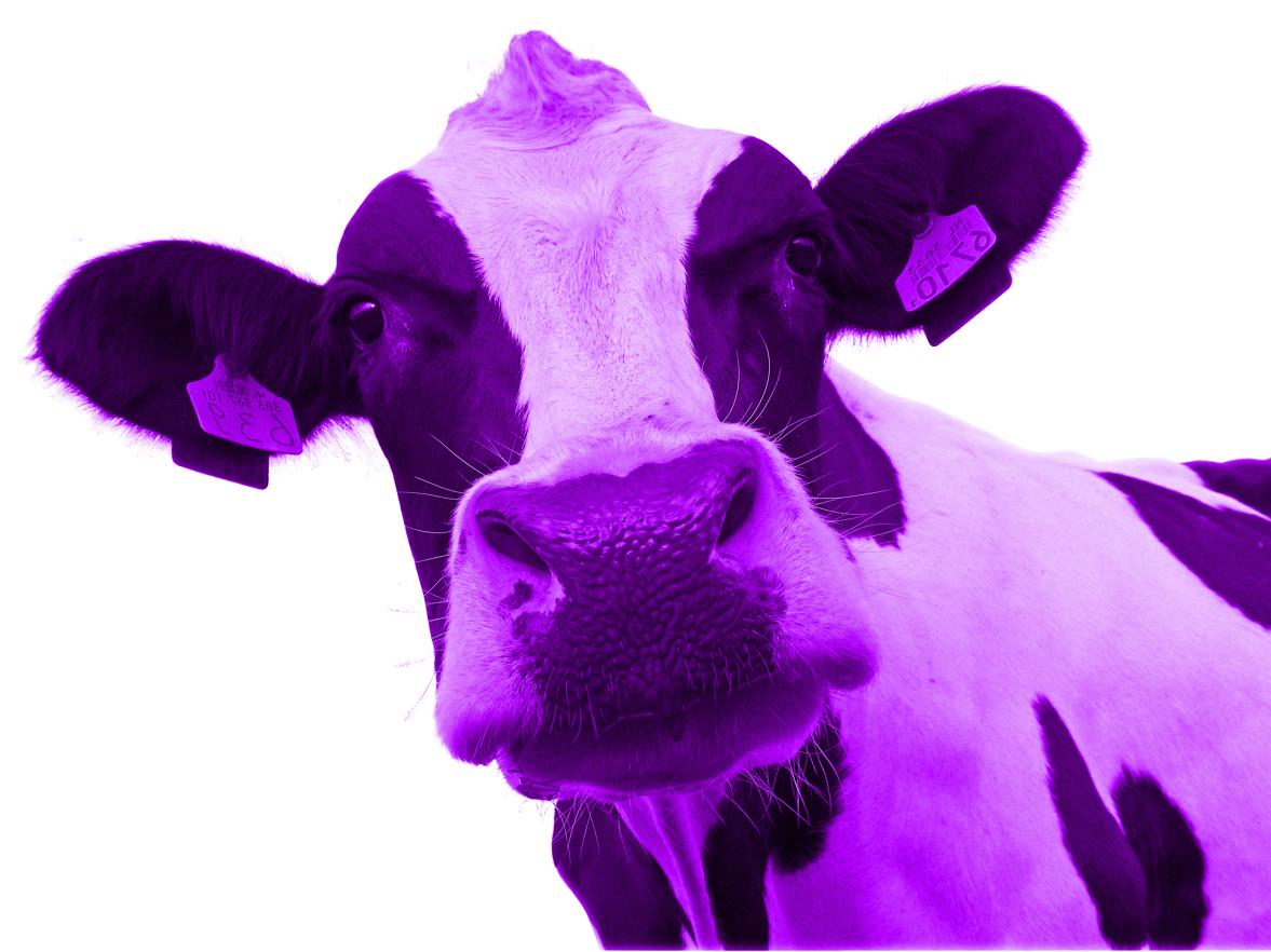 Картинка фиолетовой коровы