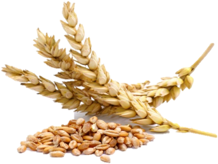 Spike Rice Png - Grains Of Wheat (500x371)