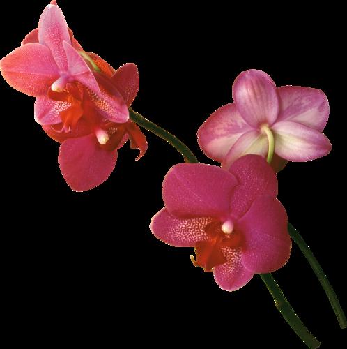 Svetlera Альбом «клипарт Png / Freeorchids Kit» На - Орхидеи Красные На Прозрачном Фоне (498x500)