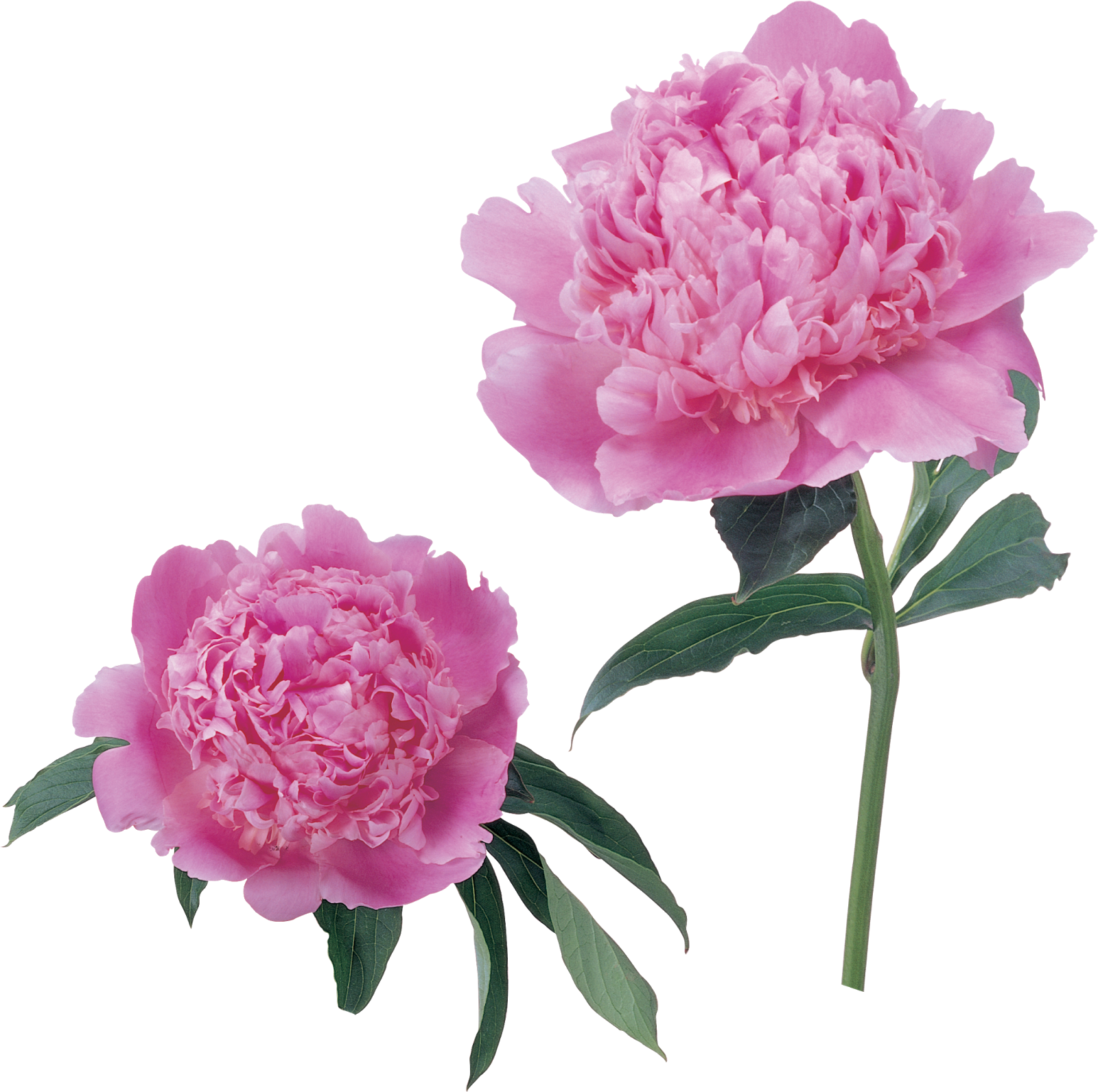 Картинка цветка пион для детей