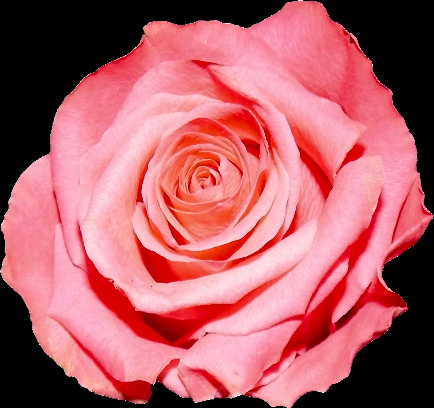 роза фото в пнг короткие рукава рубашке
