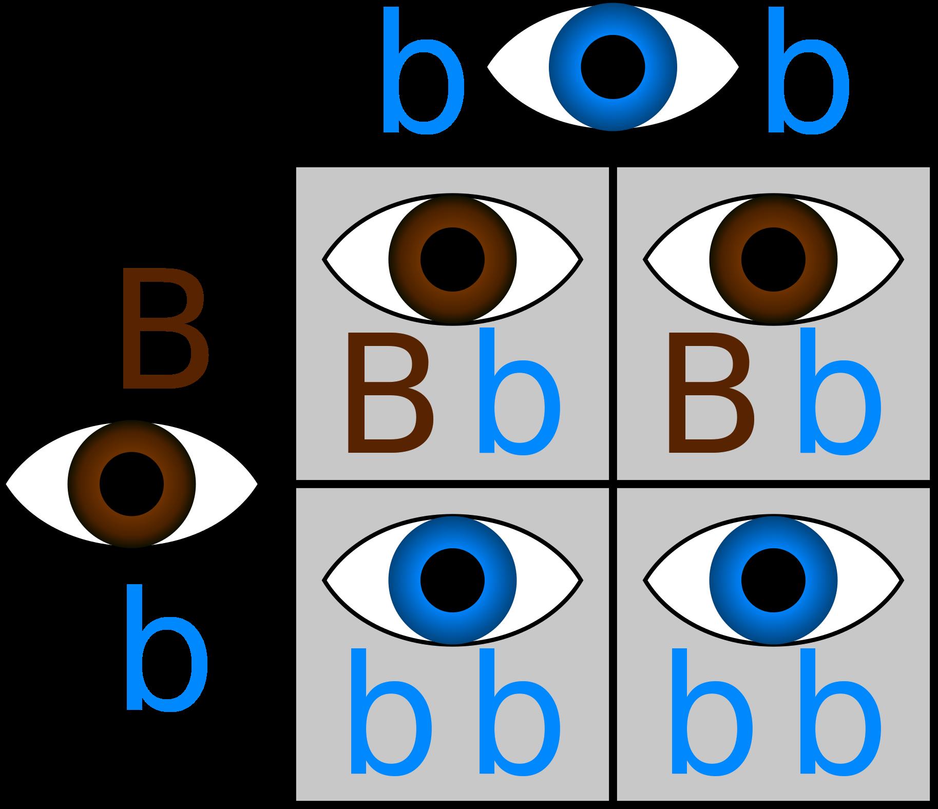 So - Punnett Square Eye Color (2000x2000)