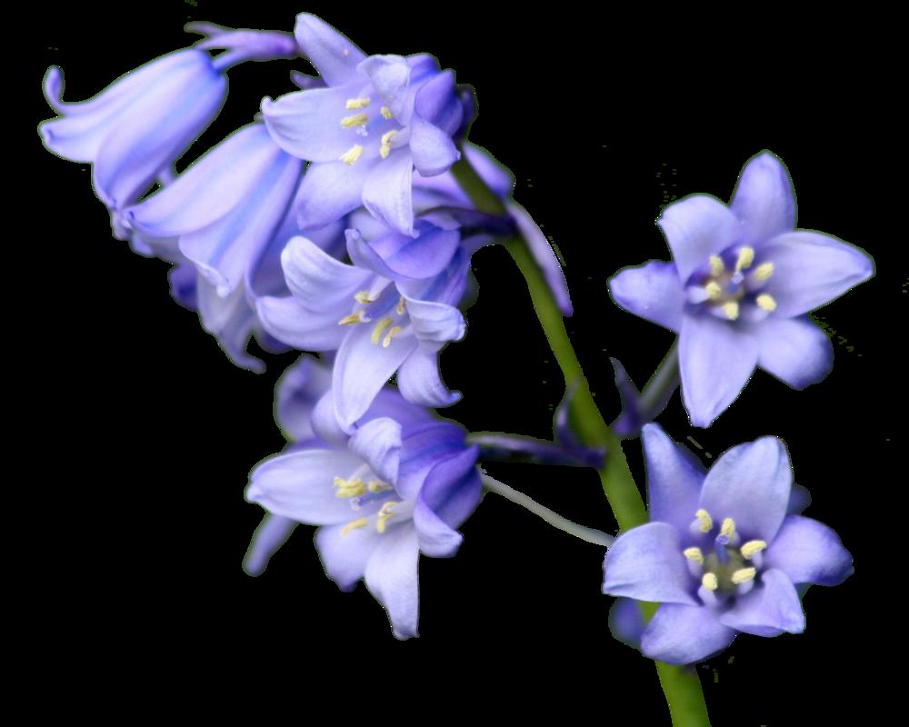 Новогодняя, картинки цветы колокольчики для детей