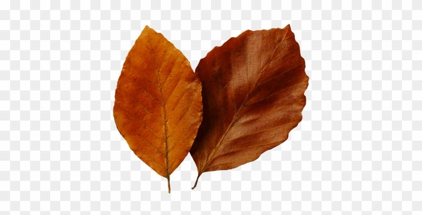 Fall Leaf Clip Art - Autumn #3129