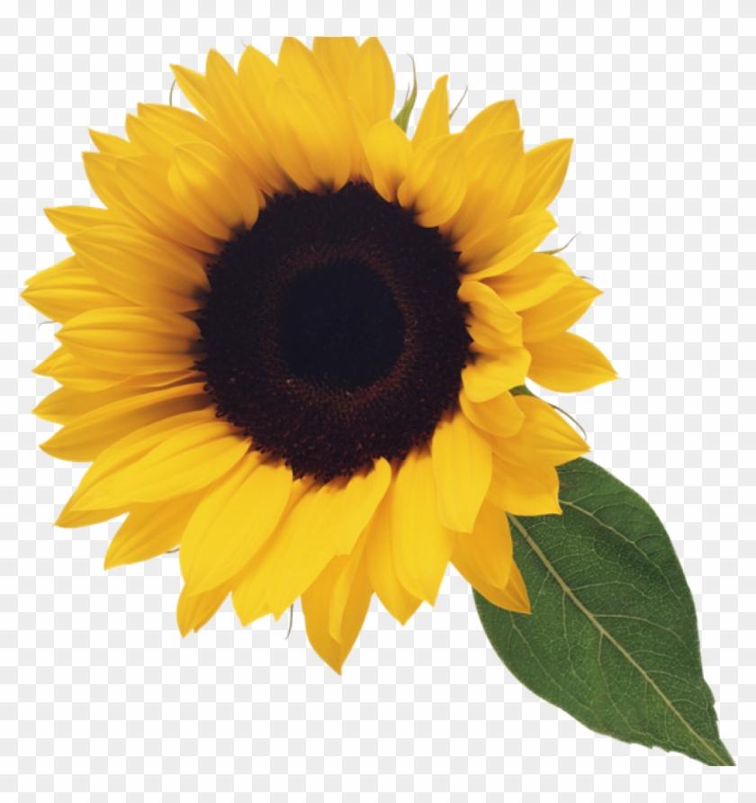 Sunflower Clipart Free Sunflower Clip Art Clipart Free - Sunflower Png Clipart #3345