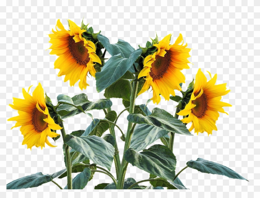 Sunflower Free Sunflower Free Pictures On Pixabay Clip - Sunflower Plant Png #3798