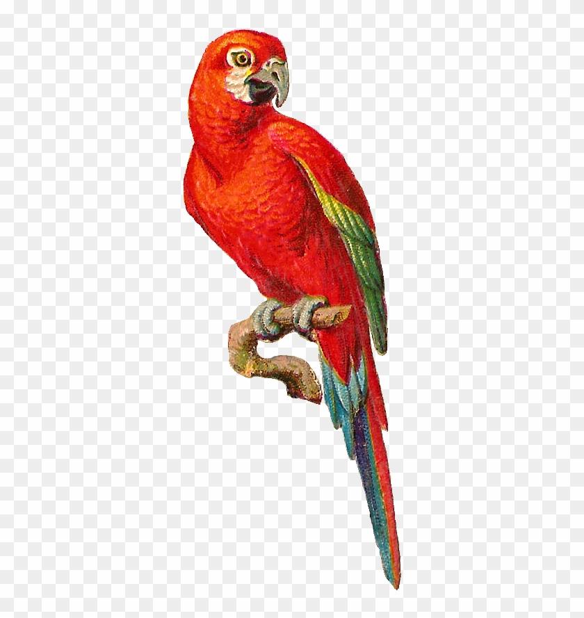 Antique Images - Parrot Graphic #4519
