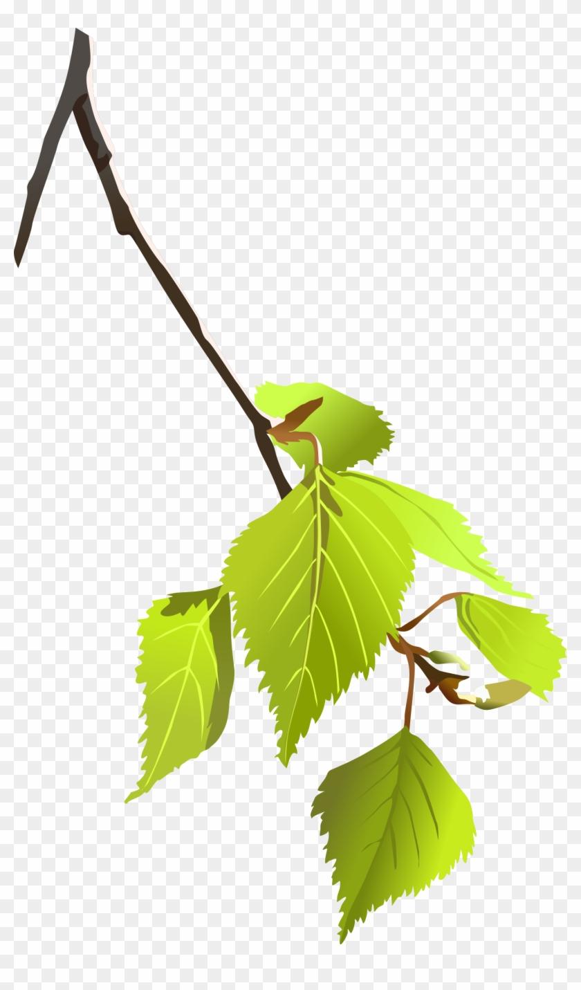 Birch Tree Branch Clipart - Tree Branch Vector Png #801