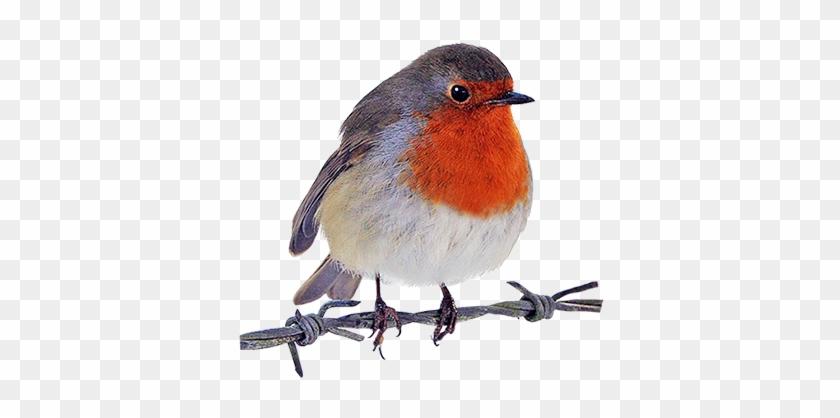 Robin Clipart - Robin Bird Png #8456
