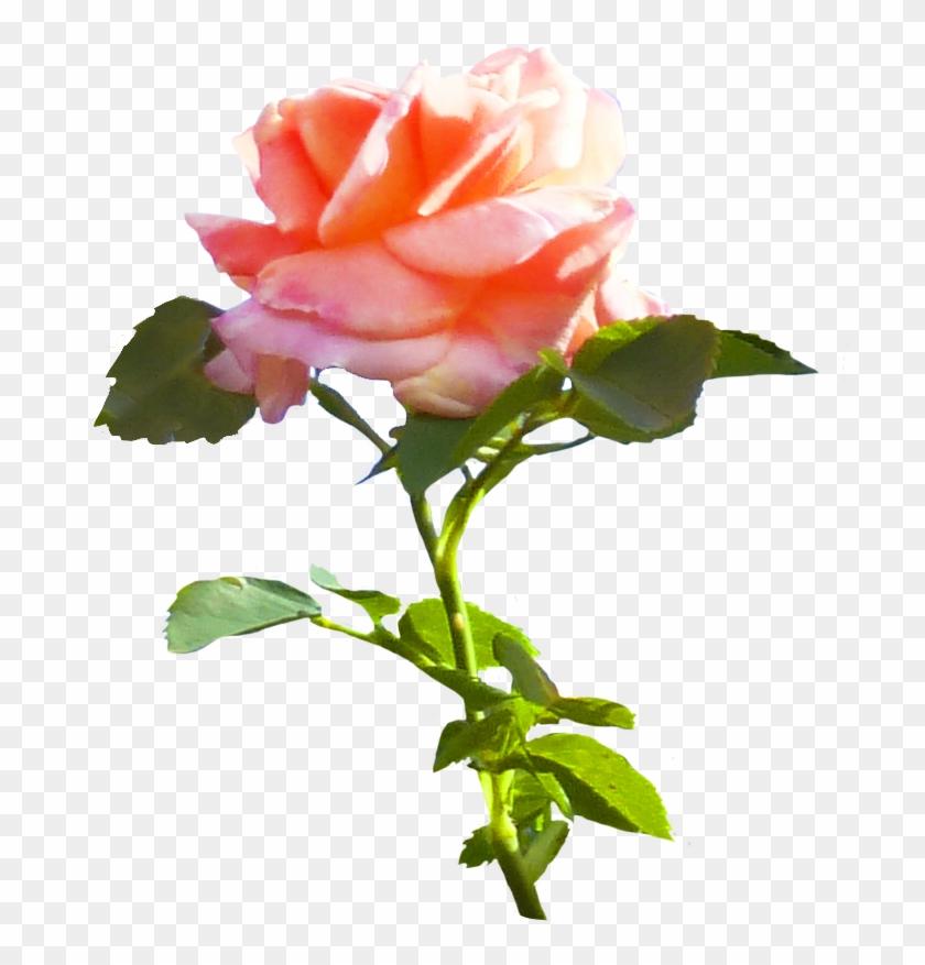 Pink Rose Clip Art - Rose #17812