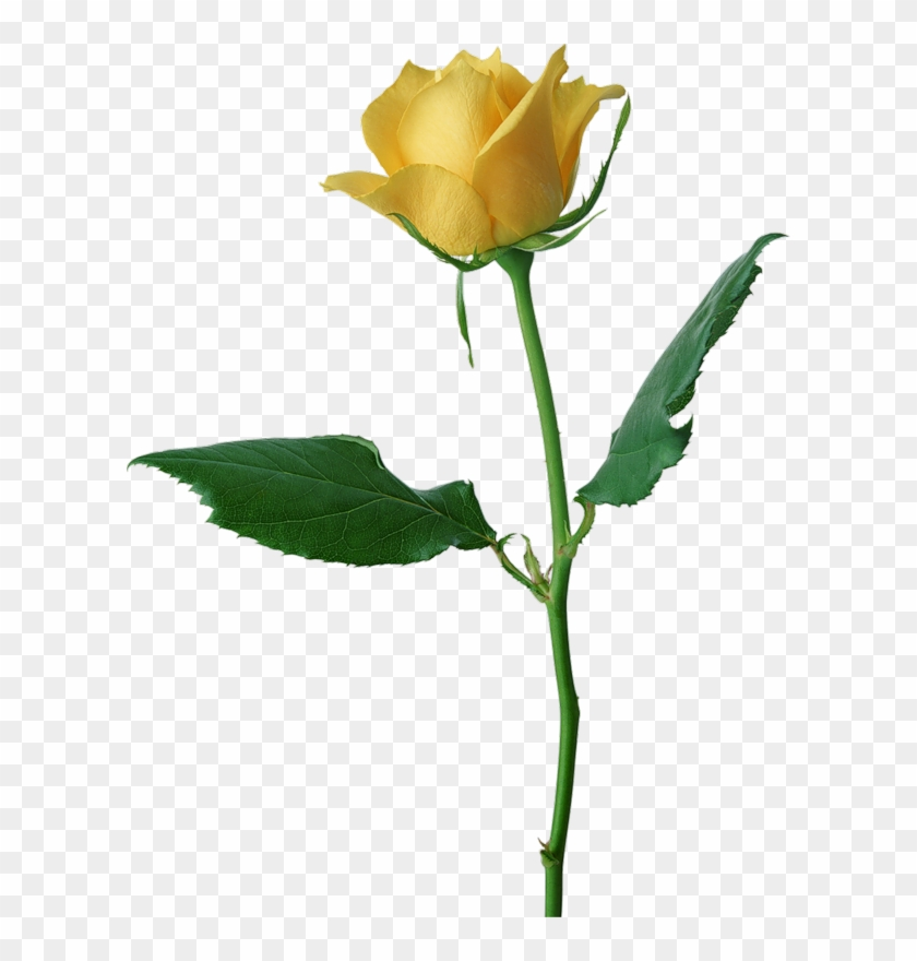 Large Yellow Rose Png Clipart - Rose #17946