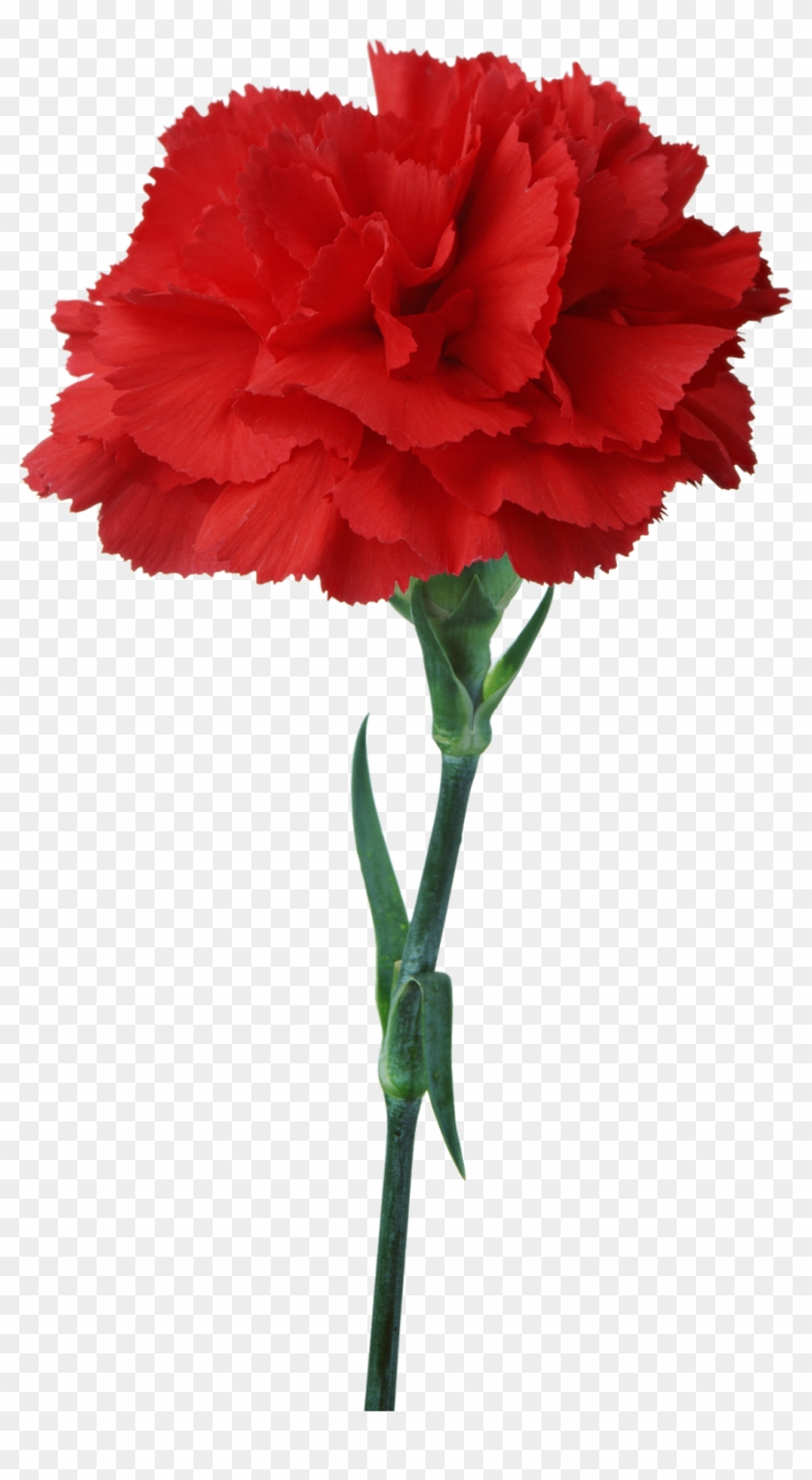 Carnation Flower Red Floristry Clip Art Carnation Flower Red