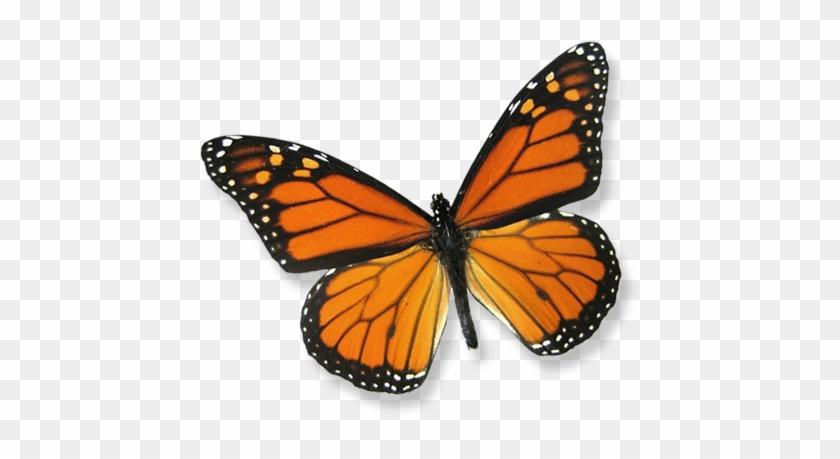 "About Butterfly Releases - Framed Monarch Butterfly Riker Mount (6"" X 5"") #461639"