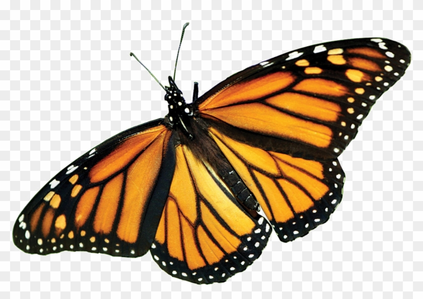 Monarch Butterfly Png Picture - Real Monarch Butterfly Wings #461645