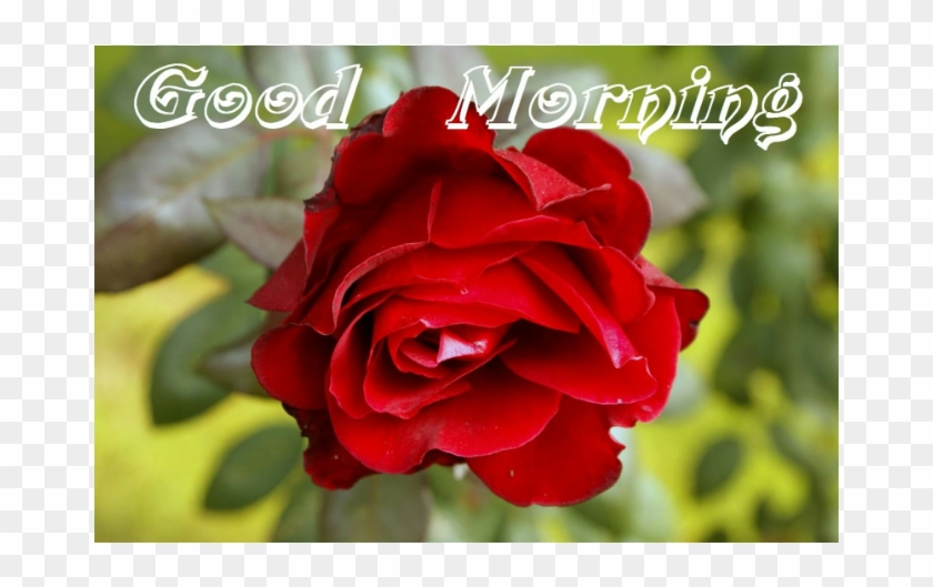 Good Morning Red Roses Free Transparent Png Clipart Images Download