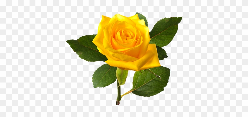 Download Png Image Report Single Yellow Rose Flower Free