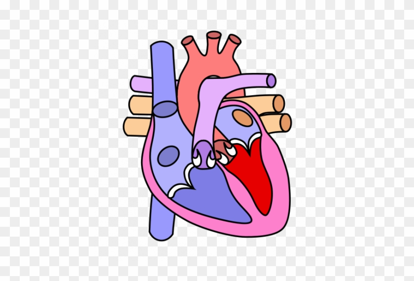 Cartoon Drawing Of A Human Heart - Heart Diagram Without Label #479294