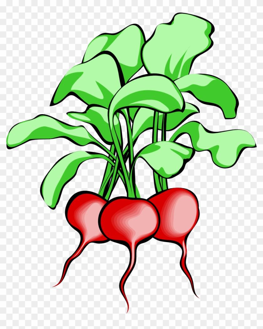 Vegetable Garden Clipart - Beets Clipart #90475