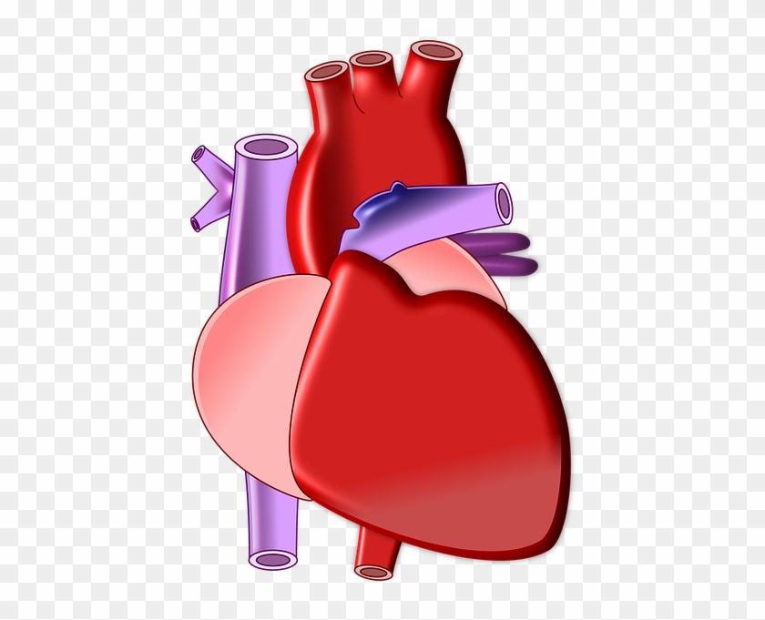 Heart Biology Organ Medical Health Body - Heart Biology Png #91412