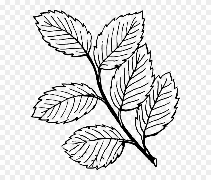 White Black Fall Outline Drawing Leaf Tree White Leaves