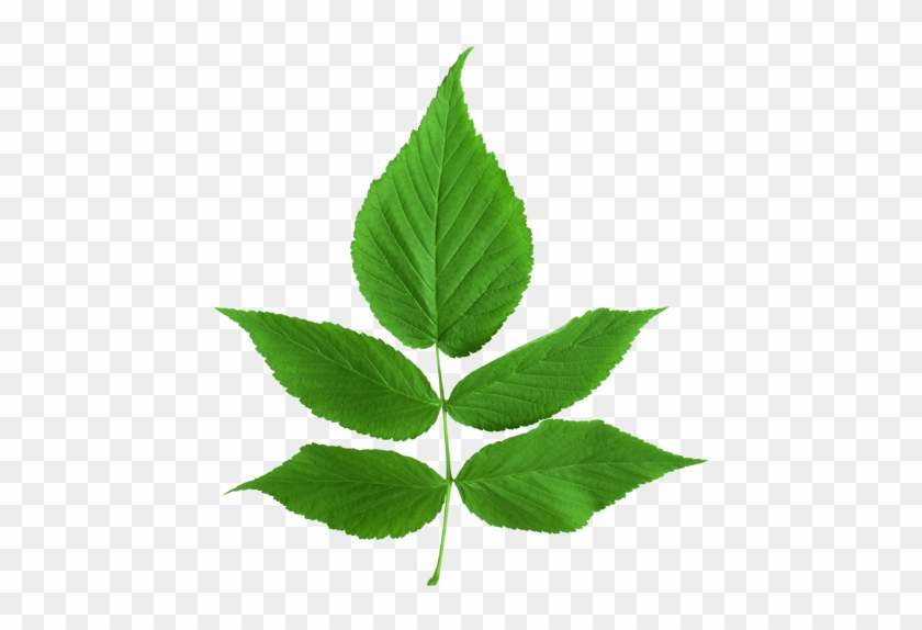 ขอบคุณเพื่อนๆ ทุกท่าน - Green Ash Tree Leaf #519803