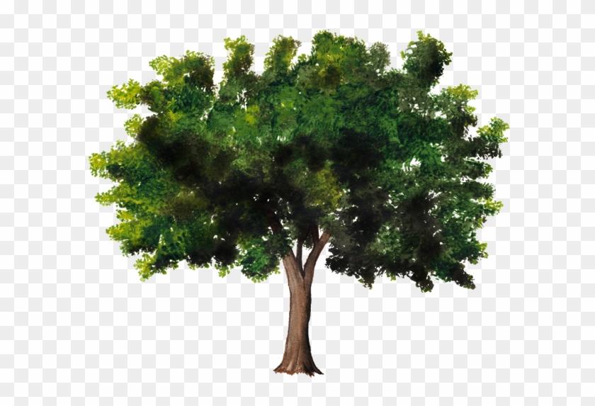 Árbol De Plantas Leñosas Celtis Australis Tronco - Tree #530237