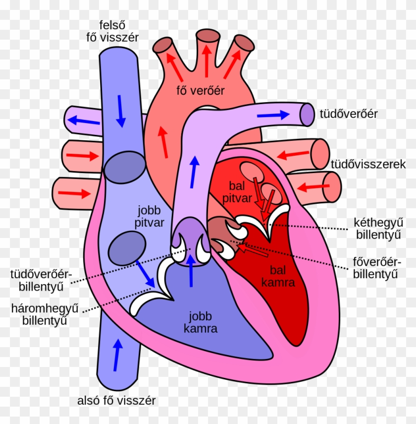 File Diagram Of The Human Heart Hu Svg Wikipedia Rh - Direction Of Blood Through The Heart #542068