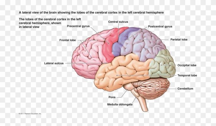 Brain Png Free Download - Nervous System Diagram Brain ...