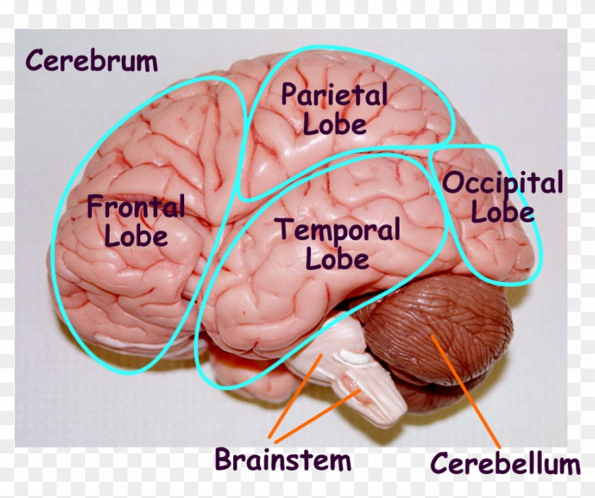 Image Result For Brain Cut In Half Labeled Model Parts Of The