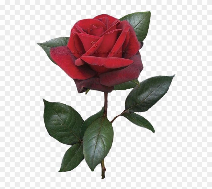 Red Rose Clipart Real - Red Rose With Stem #95506