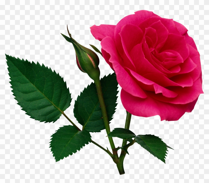 Pink Large Rose And Rose Bud Png Clipart - Rose Png File #95602