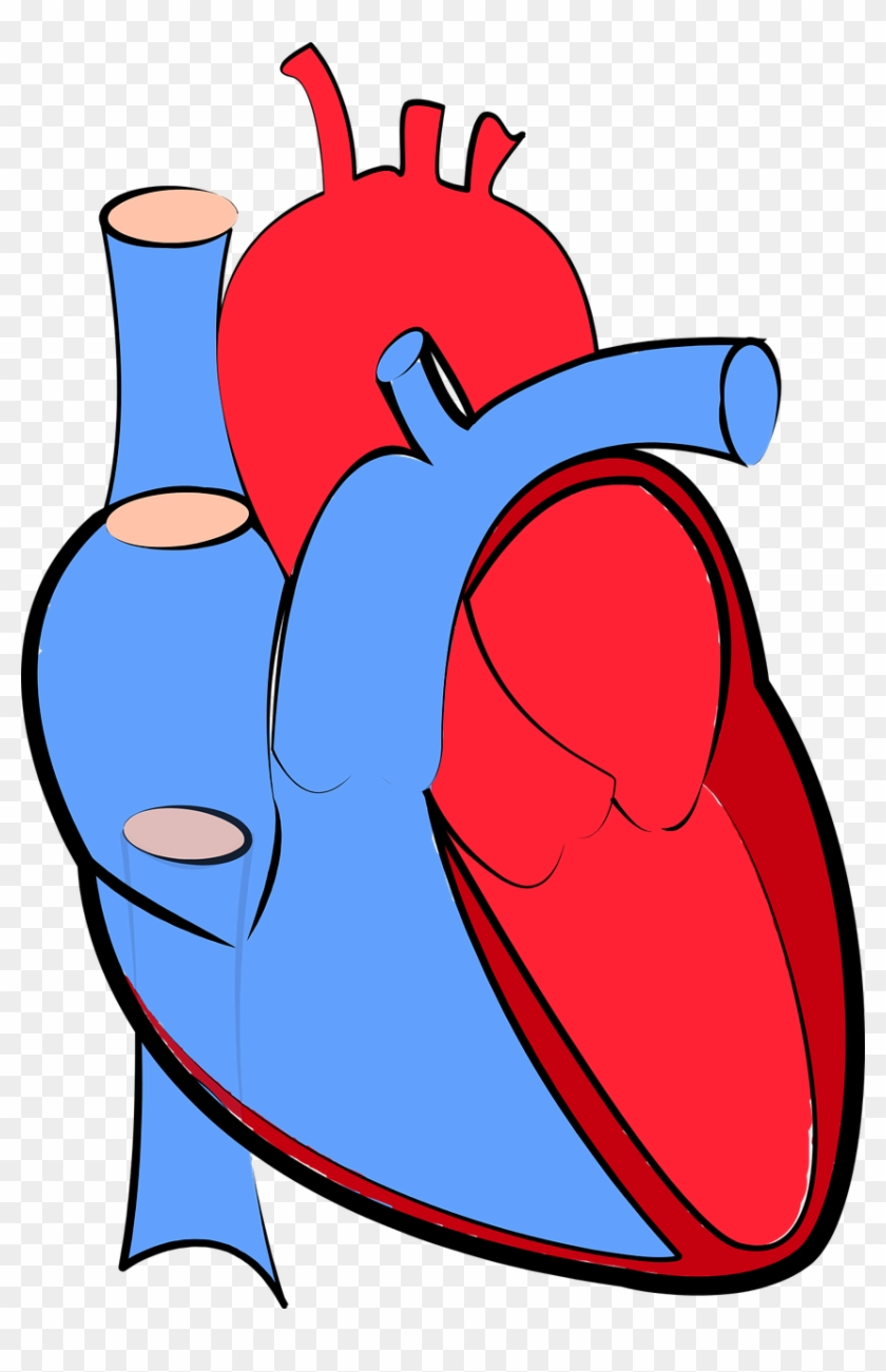 Human Heart Blood Flow Oxygenated And Deoxygenated - Human Heart Blue And Red #100052