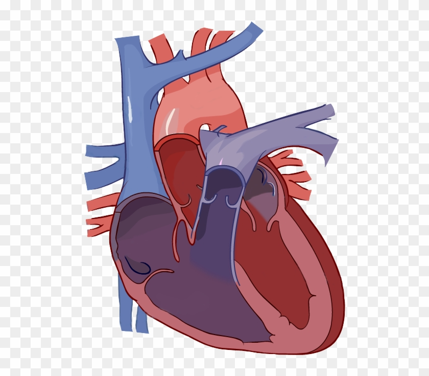 Heart Diagram Without Labels #100111