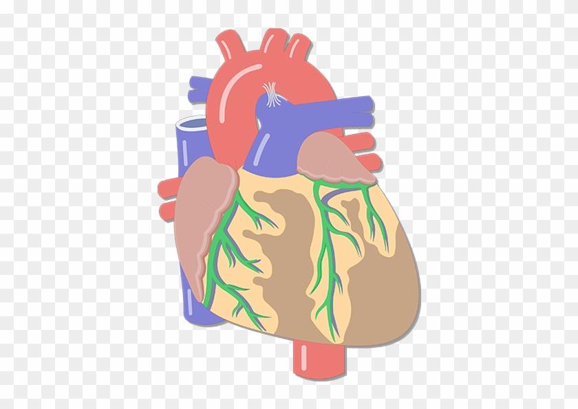Coronary Arteries - Major Blood Vessels Of The Heart #100119
