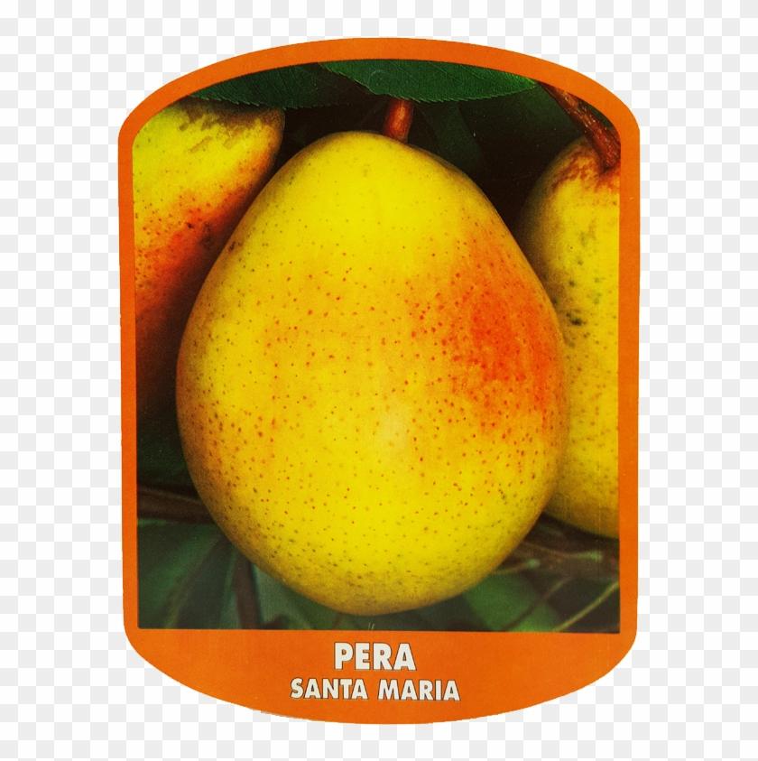 Pera Santa Maria - Asian Pear #546322