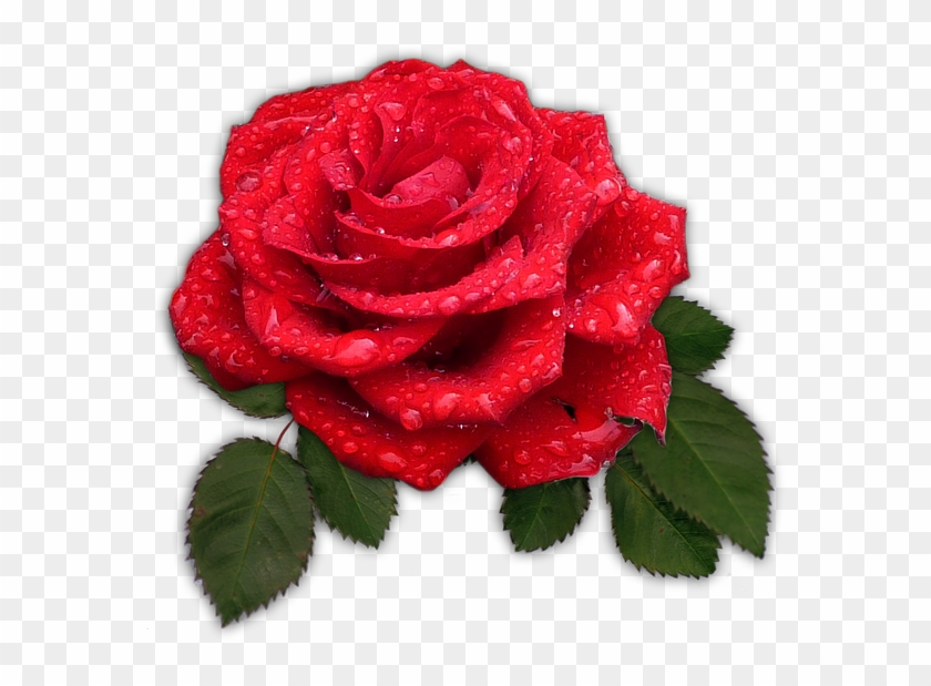 Rose Red Flower Blossom Bloom Dew Drip Good Night Text