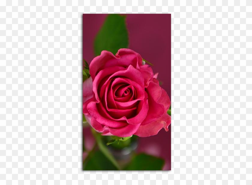 Pink Rose Mobile Wallpaper Hd Pink Rose Wallpaper Mobile Free