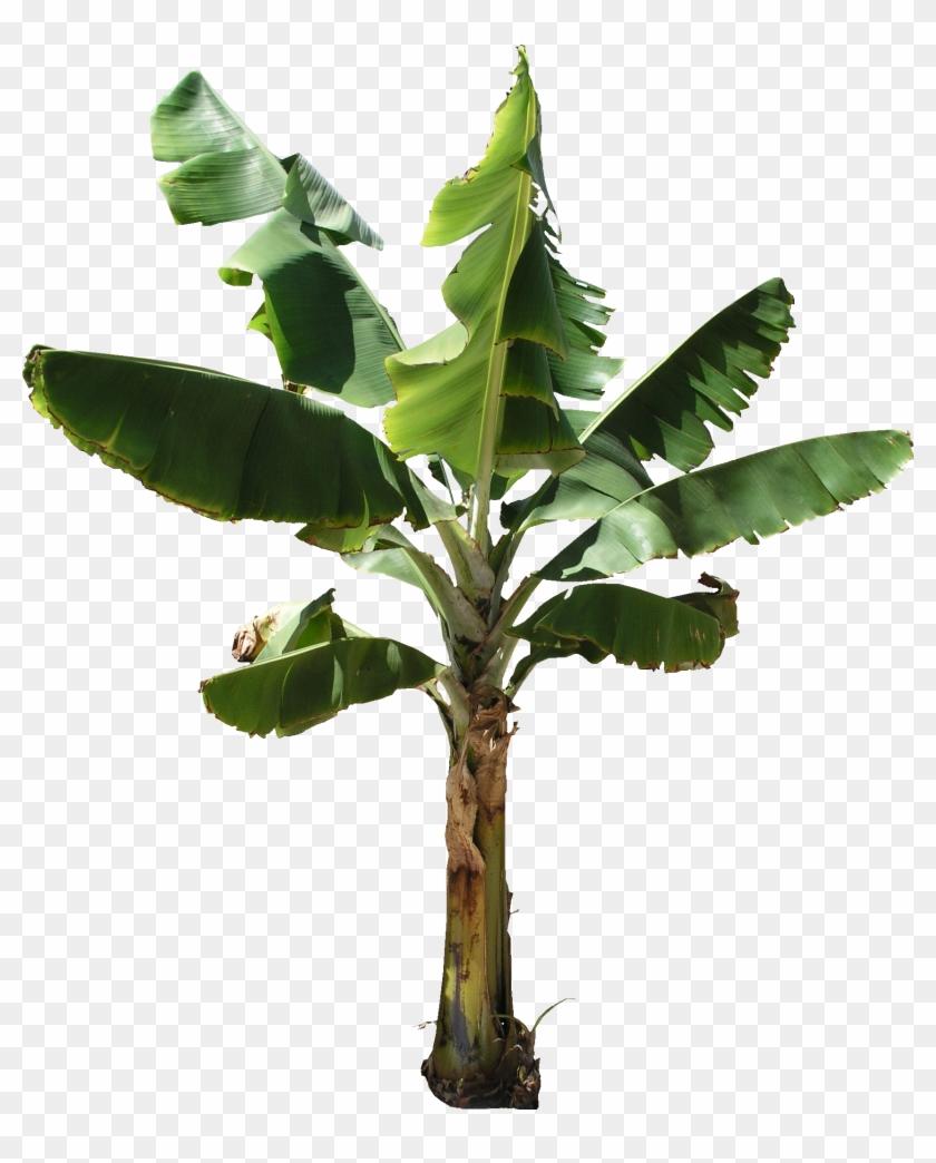 Banana Tree Plant Png Banana Tree Png Free Transparent Png