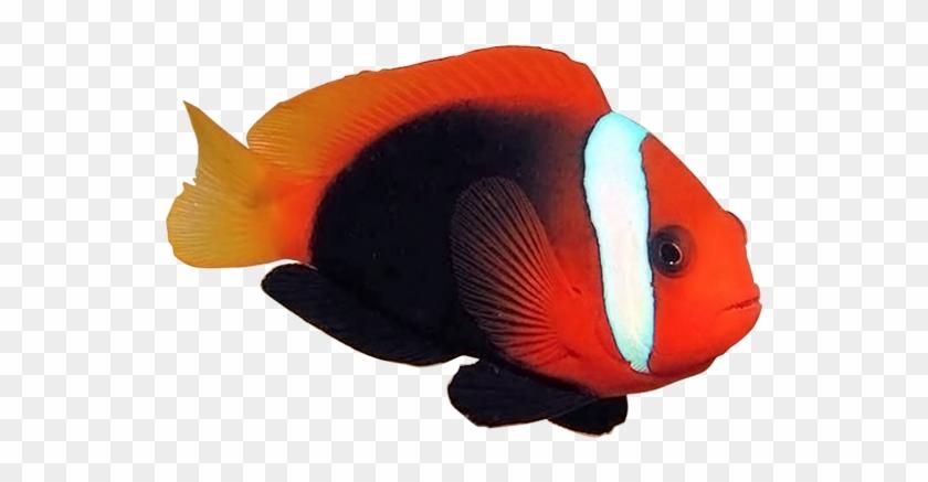 黑红小丑cinnamon Clownfish - Coral Reef Fish #577636