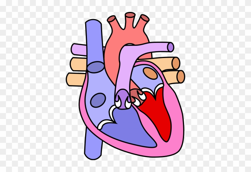 Inflammation Of The Heart Is Most Frequently Caused - Heart Diagram Without Label #585302