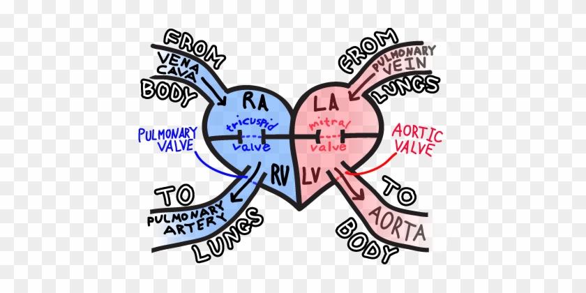 Blood Flow Through The Heart - Blood Flow Through Heart Simple #617640