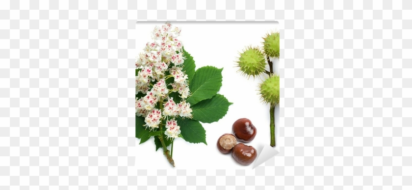 Horse-chestnut Flowers, Leaf And Seeds Wall Mural • - Horse Chestnut Tree Flower #619824