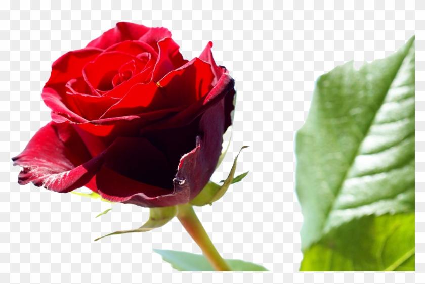Rose Wikipedia,free Shipping Vestidos De Novia Real - Happy Rose Day To Friends #625109
