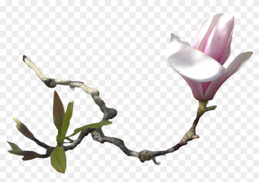 Southern Magnolia Flower Email Clip Art - Southern Magnolia Flower Email Clip Art #646974