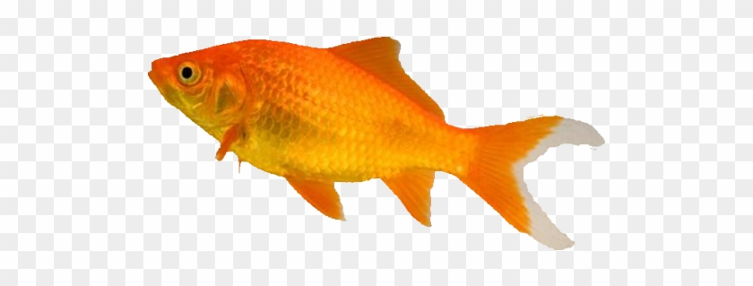 Fish Food Treatments And Accessories From The Pet Types Of Goldfish Free Transparent Png Clipart Images Download