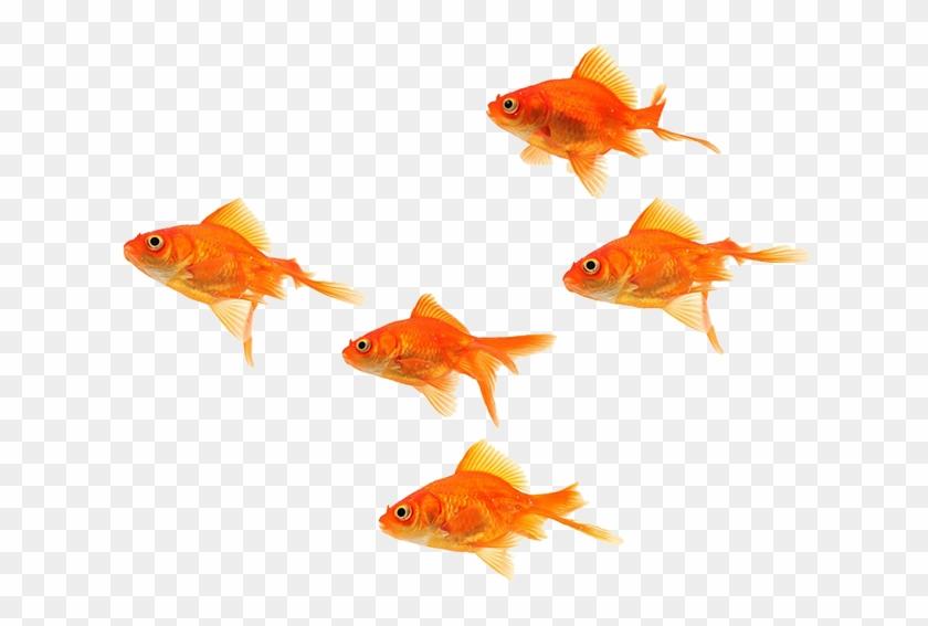Goldfish #656149